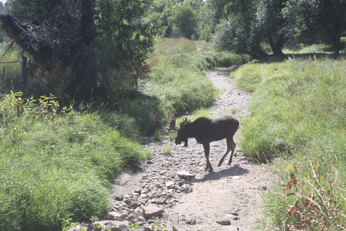 This moose has been hanging out near the Cache la Poudre schools and on Rose Brinks' property lately.